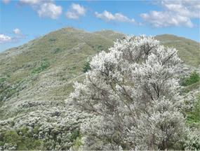 Krzew Manuka rosnący w Nowej Zelandii